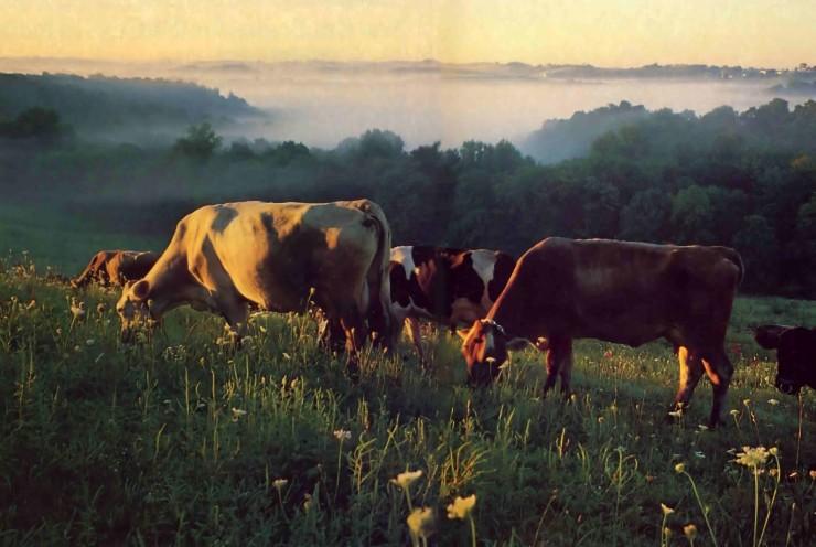 Farm Cows.jpg