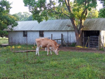 Two of Our Many Coveted Cows